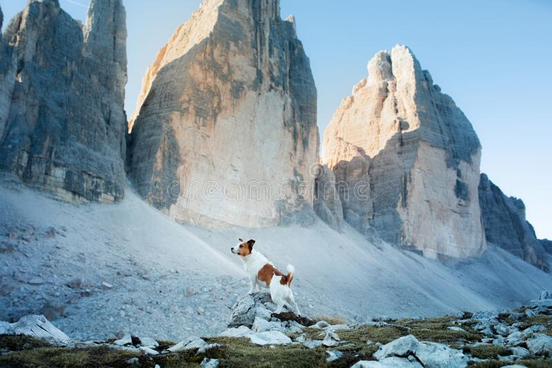 Dog in the mountains. Tracking, hiking with a pet. Brave Jack Russell Terrier on top stock photo