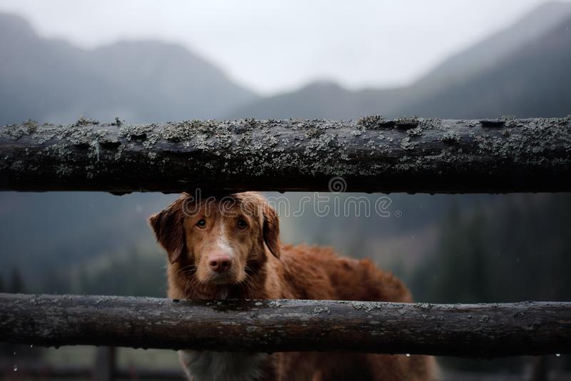 Dog in the mountains in the valley fog atmosphere. Nova Scotia Duck Tolling Retriever. In nature stock photos