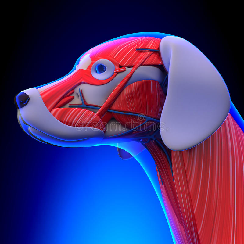 Dog Muscles Anatomy - Anatomy of a Male Dog Muscles royalty free illustration