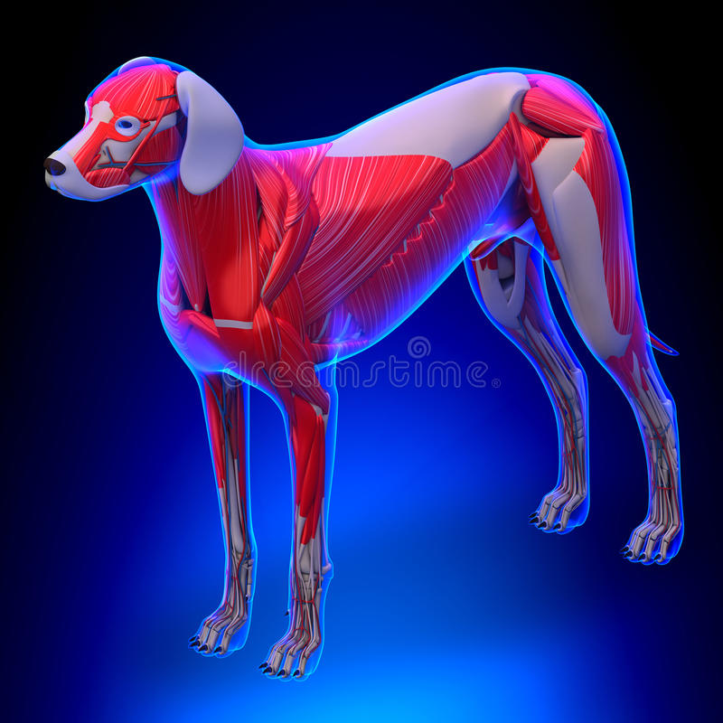 Dog Muscles Anatomy - Anatomy of a Male Dog Muscles.  vector illustration