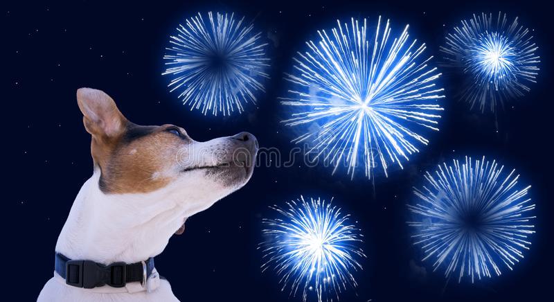 Safety of pets during fireworks concept. Dog muzzle jack russell terrier against the sky with blue fireworks. Safety of pets during fireworks concept stock photo