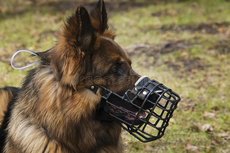 Dog with Muzzle portrait royalty free stock photography