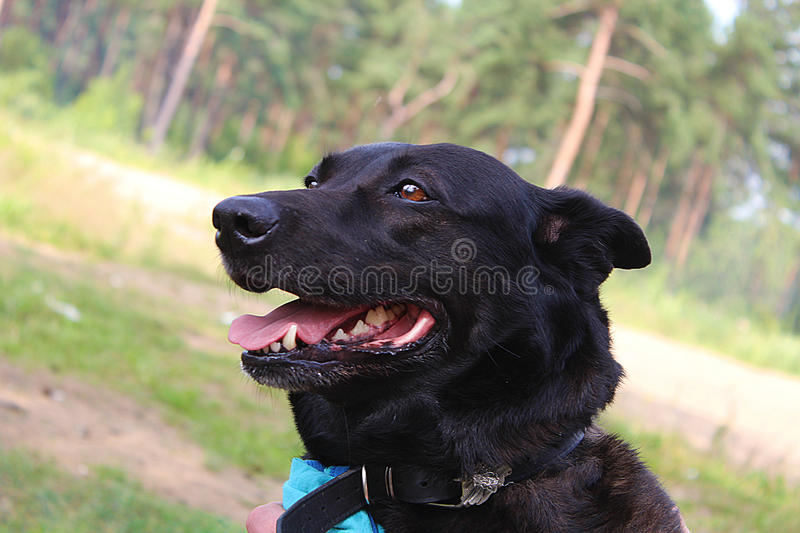 Dog named Tima royalty free stock photography