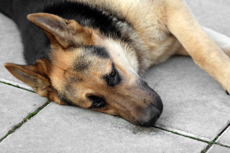 Dog napping on the ground. A shepherd dog with indifferent look napping on the ground, outdoor cropped shot royalty free stock photo