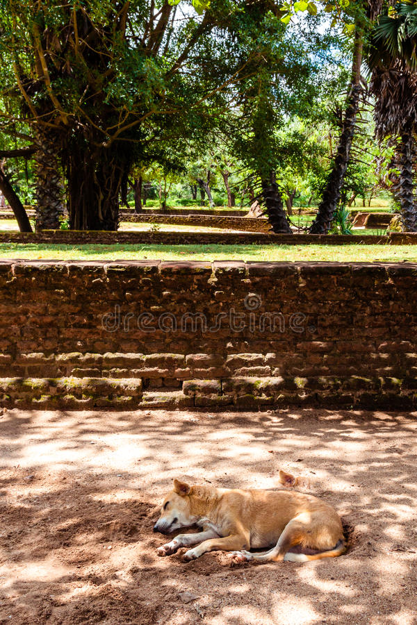 A dog napping in the shade of some trees away from the midday sun in the ancient city of Polonnaruwa, Sri Lanka. royalty free stock image