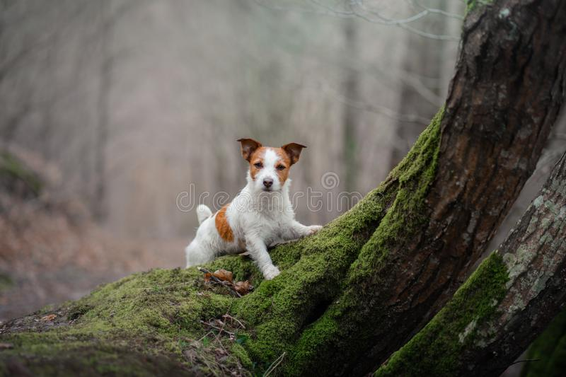 Dog on the nature in the forest. Jack Russell Terrier on a walk. Active pet. Dog in the moss forest. Jack Russell Terrier on a walk. Active pet on nature royalty free stock photo