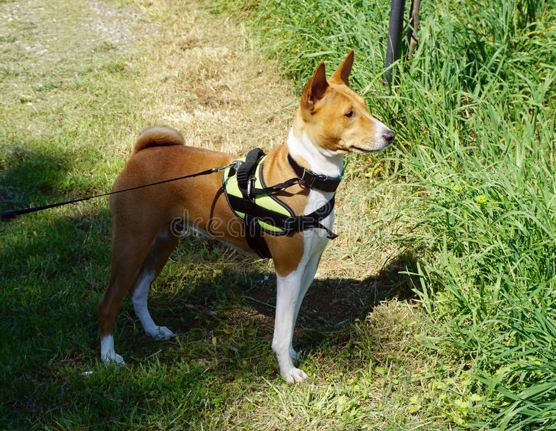 Dog in nature looks into the distance and listening. Dog Basenji breed from Africa, posed in nature and looks into the distance and listening stock photo