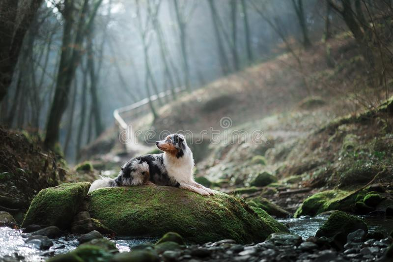 Dog in nature in the morning. Australian shepherd at sunrise near the water. Pet for a walk. Dog in nature in the morning. Australian shepherd at sunrise in the stock photo