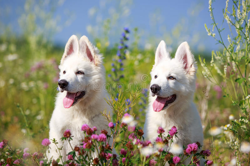 Download Dog on nature stock photo. Image of berger, swiss, suisse - 32050246