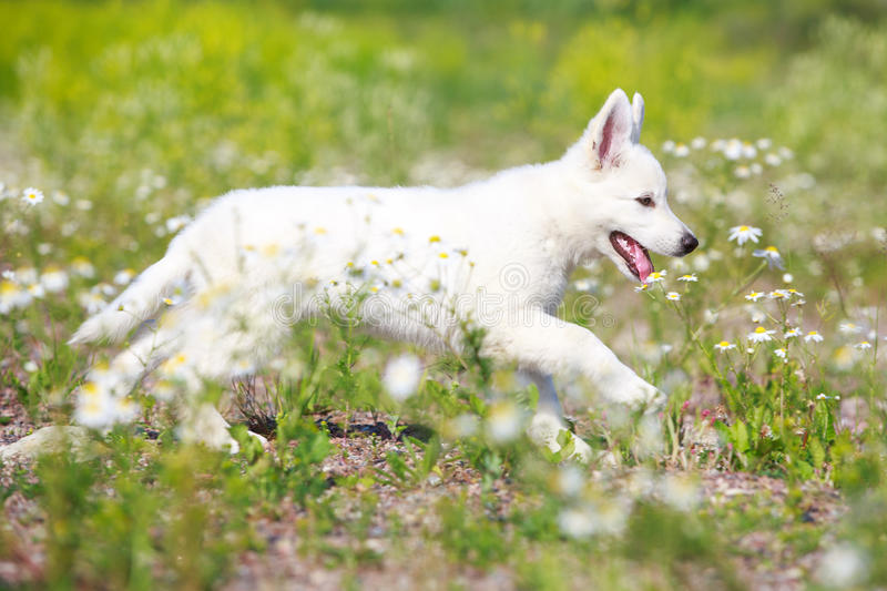 Download Dog on nature stock photo. Image of puppy, white, berger - 32051004