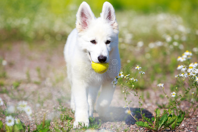 Download Dog on nature stock photo. Image of white, berger, swiss - 32051110