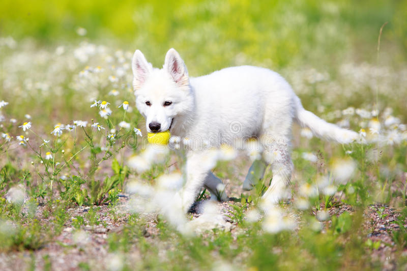 Download Dog on nature stock photo. Image of swiss, suisse, flower - 32051148
