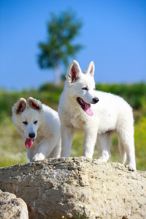 Download Dog on nature stock image. Image of suisse, white, nature - 32052005