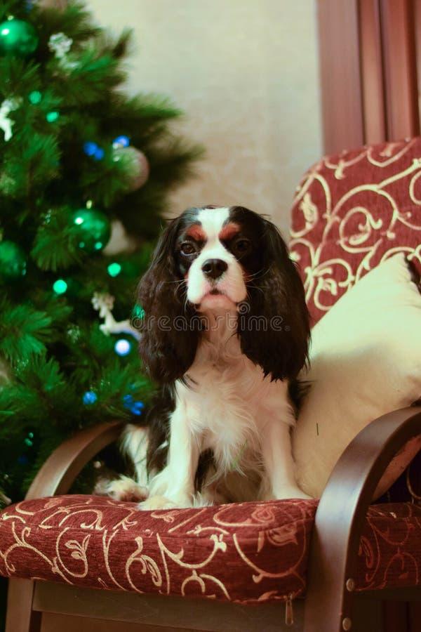Cavalier King Charles Spaniel royalty free stock photo