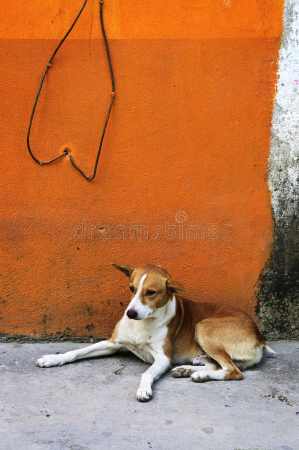 Dog near colorful wall in Mexican village. Dog resting near colorful wall in Mexican village royalty free stock image