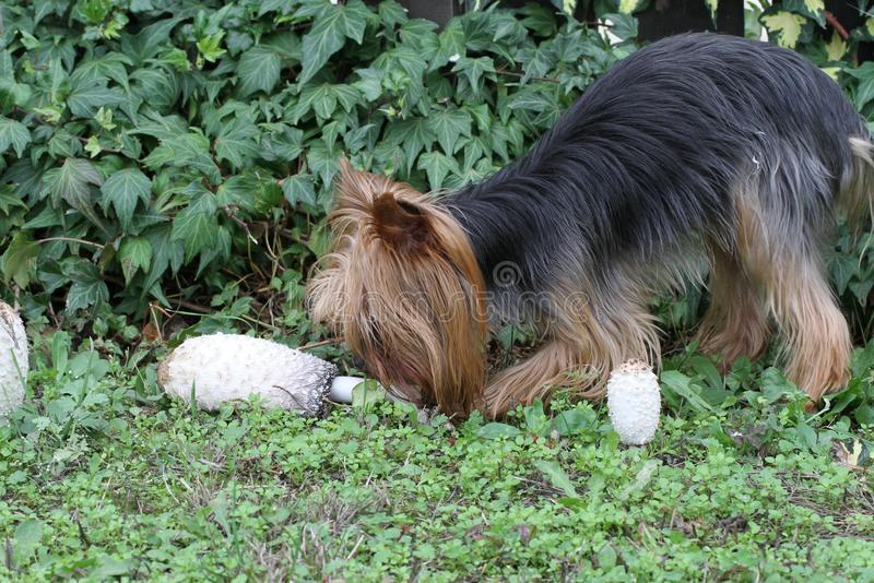 Dog near few mushrooms. Growing in the grass royalty free stock photos