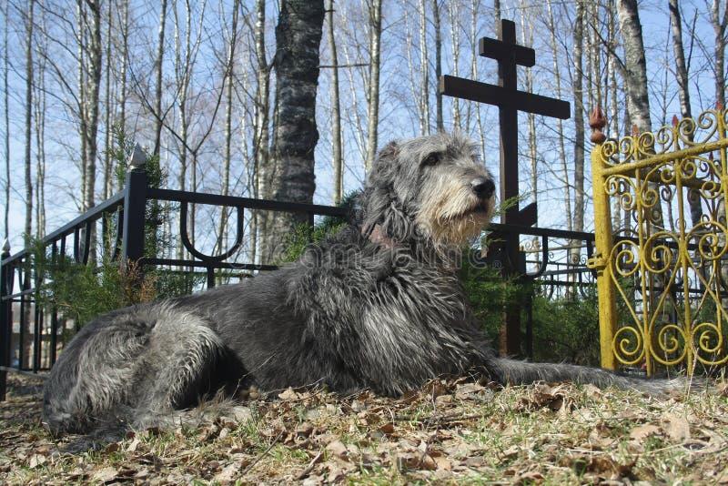 Dog near grave royalty free stock photography