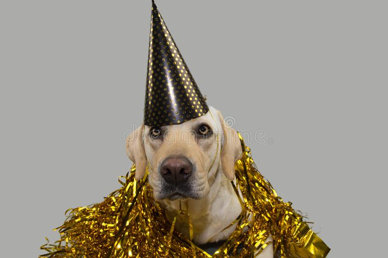 DOG NEW YEAR OR BIRTHDAY PARTY HAT. FUNNY LABRADOR LYING DOWN AGAINST GOLDEN SERPENTINES STREAMERS. ISOLATED STUDIO SHOT ON GRAY. BACKGROUND royalty free stock photo