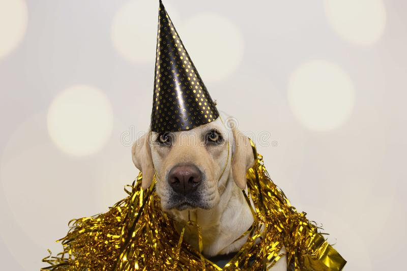 DOG NEW YEAR OR BIRTHDAY PARTY HAT. FUNNY LABRADOR LYING DOWN AGAINST GOLDEN SERPENTINES STREAMERS. ISOLATED STUDIO SHOT ON GRAY. BACKGROUND WITH DEFOCUSED stock photography