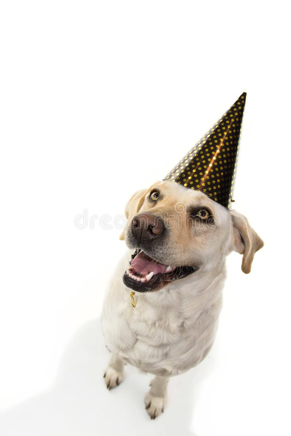 DOG NEW YEAR OR BIRTHDAY PARTY HAT. FUNNY LABRADOR SITTING AND LOOKING UP. ISOLATED STUDIO SHOT ON WHITE BACKGROUND.  royalty free stock images