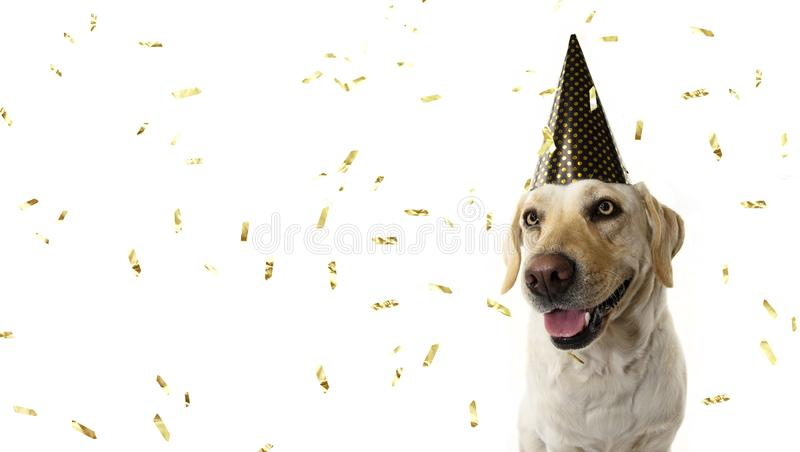 DOG NEW YEAR OR BIRTHDAY PARTY HAT. FUNNY LABRADOR SITTING. WEARING A GOLDEN POLKA DOT CAP. ISOLATED STUDIO SHOT ON WHITE BACKGROUND WITH CONFETTI FALLING royalty free stock photos