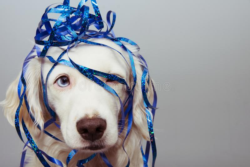 Dog new year, carnival or birthday present with blue eyes and serpentines isolated on whte background royalty free stock photography