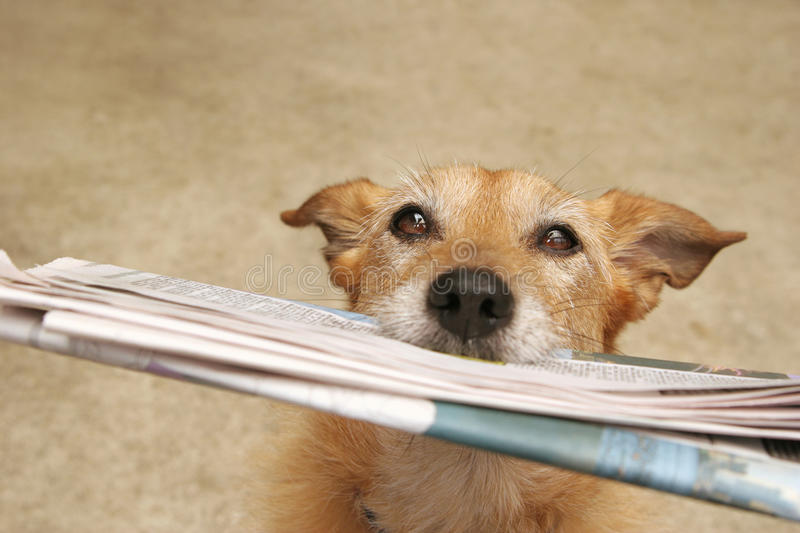 Dog with the daily news. Cute scruffy terrier dog with the daily newspaper in her mouth royalty free stock image