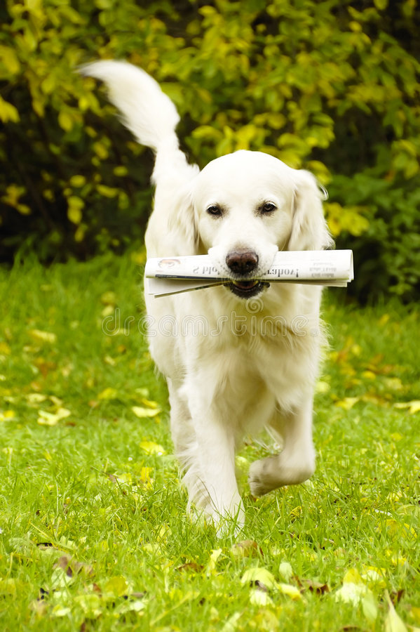 Dog with newspaper stock photography