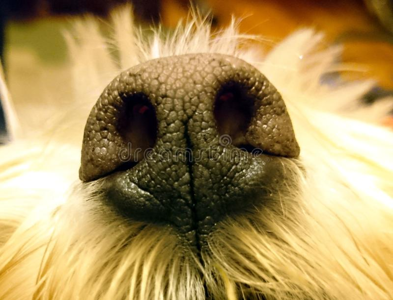 Dog nose close-up stock image