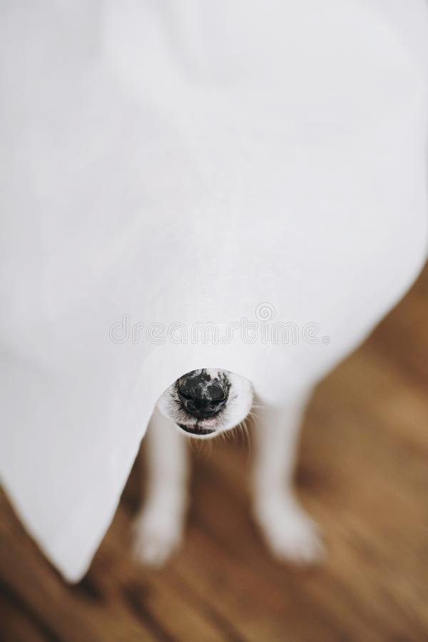 Dog nose under white curtains at window in home. Cute funny dog hiding under curtains, curious black nose close up. Copy space. royalty free stock image