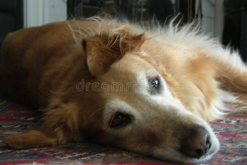 Dog-Not a Care in the World stock photos