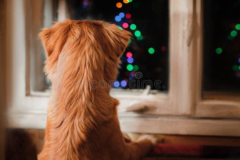 Dog Nova Scotia Duck Tolling Retriever, jul och det nya året, ståendehund på en studiofärgbakgrund royaltyfri foto