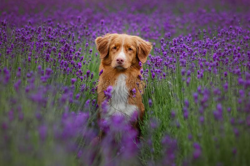 Dog Nova Scotia duck tolling Retriever in lavender. Pet in the summer on the nature in colors stock photo