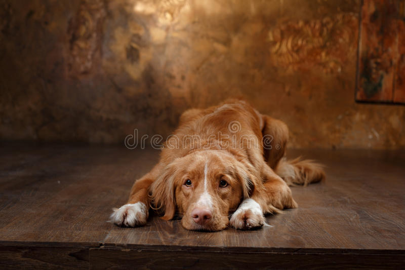 Dog Nova Scotia Duck Tolling Retriever portrait on a studio color background. Pets lying on the floor stock photography