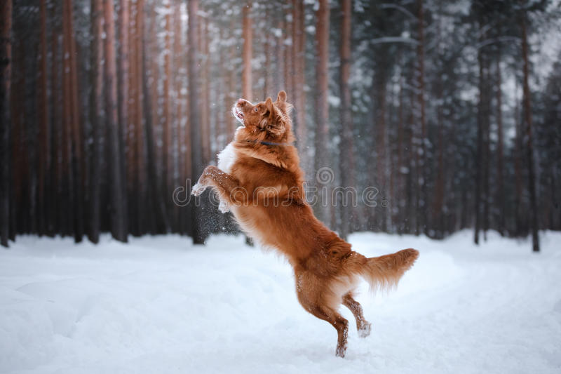 Dog Nova Scotia Duck Tolling Retriever, walk in winter forest stock image
