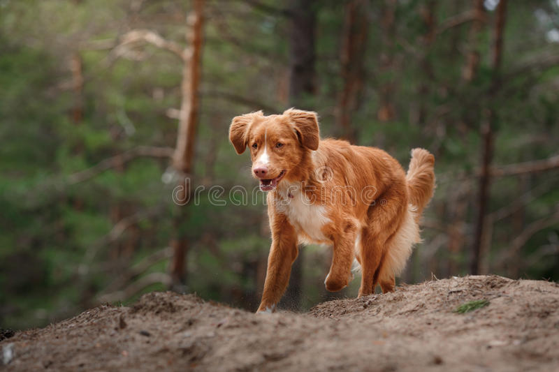 Dog Nova Scotia Duck Tolling Retriever walking in summer park. Dog walking in the forest stock photo