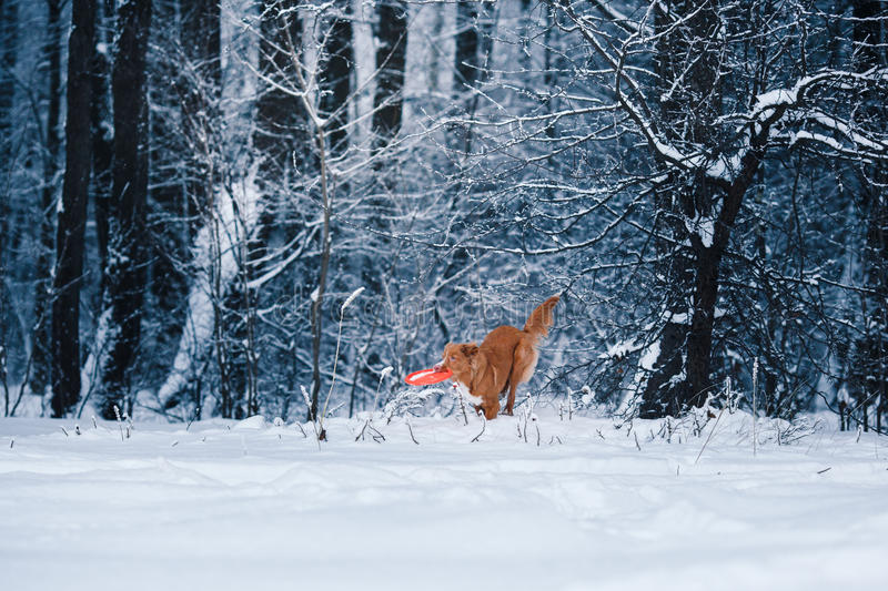 Dog Nova Scotia Duck Tolling Retriever walking in winter park, playing with flying saucer. Dog Nova Scotia Duck Tolling Retriever walking in winter park royalty free stock images