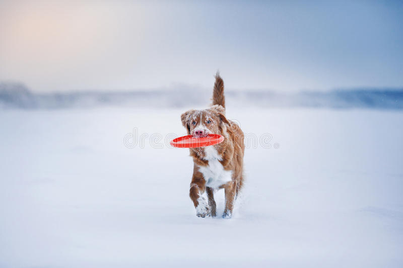 Dog Nova Scotia Duck Tolling Retriever walking in winter park, playing with flying saucer royalty free stock images