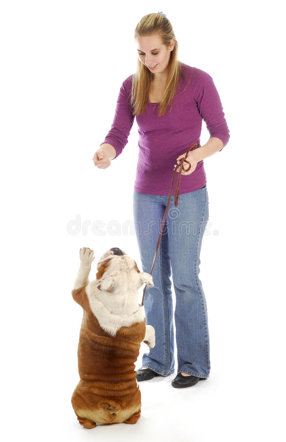 Dog obedience. English bulldog being taught how to sit pretty or beg with reflection on white background royalty free stock photography