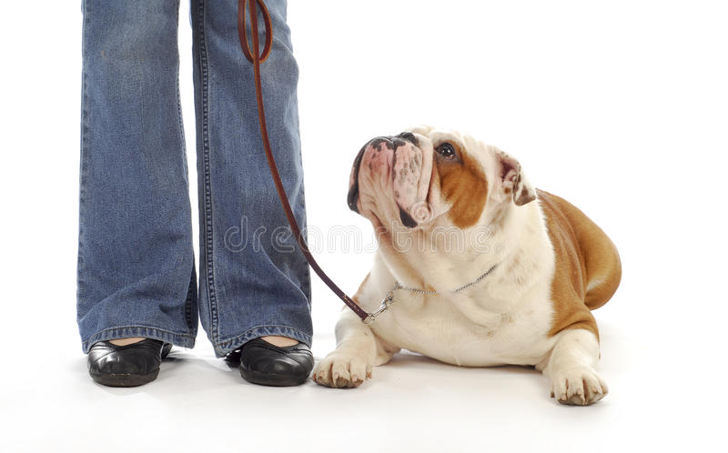 Dog obedience. English bulldog being taught to lay down and stay in obedience class on white background stock photos