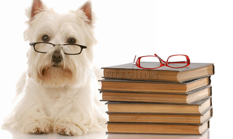 Dog obedience school. Dog obedience - west highland white terrier laying down beside stack of books stock photo