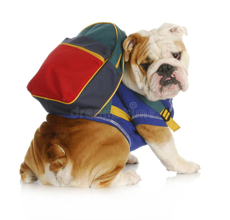 Dog obedience school. English bulldog wearing blue shirt and matching back pack looking at viewer royalty free stock photos