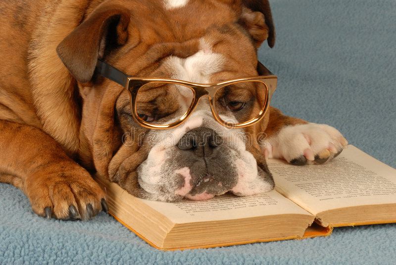 Dog obedience school. English bulldog reading novel - dog obedience school stock images