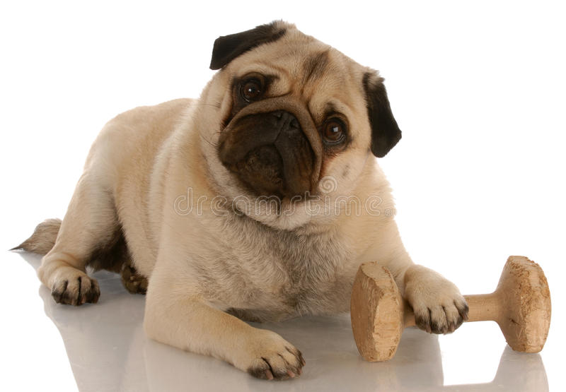 Dog obedience training. Obedience dog - pug laying down beside dumbell royalty free stock photos