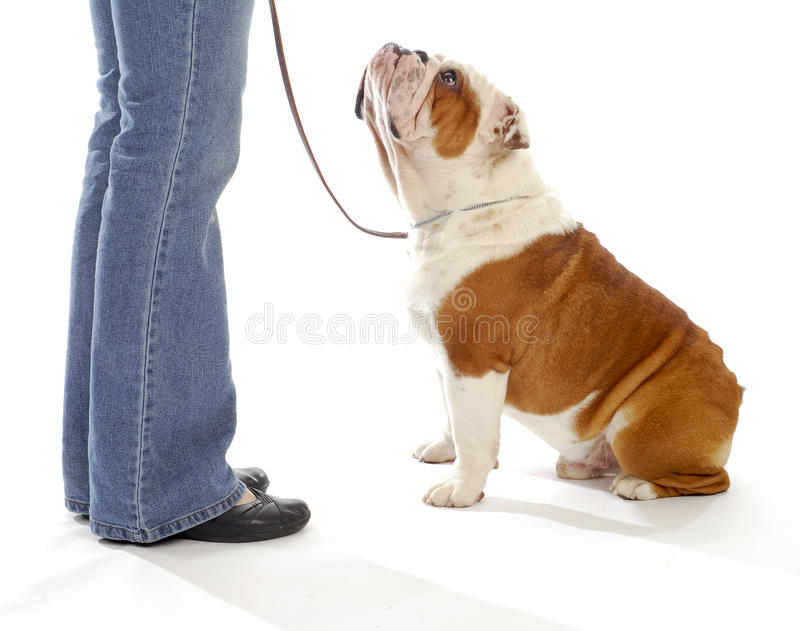 Dog obedience training. English bulldog looking up watching handler on white background stock photography