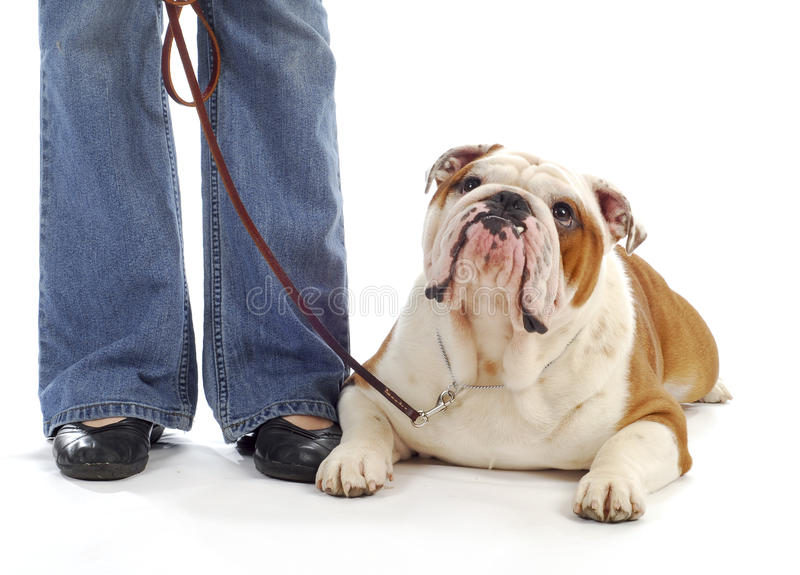 Dog obedience training. Obedience training - woman standing beside bulldog laying down looking at handler stock photos