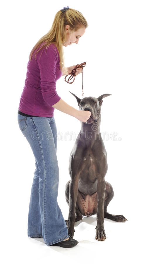 Dog obedience training. Dog obedience - woman teach great dane to sit with treats on white background stock image