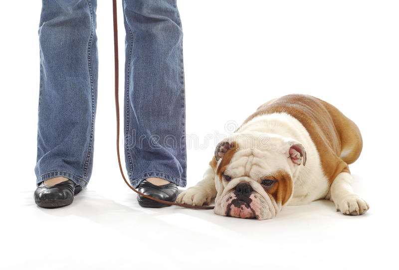 Dog obedience training. English bulldog laying down at feet of owner on white background royalty free stock photos