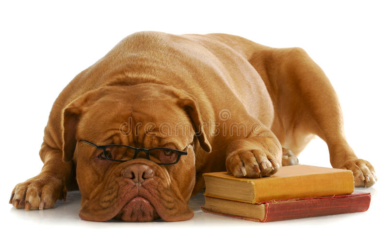 Dog obedience training. Dog obedience school - dogue de bordeaux wearing glasses with paw up on stack of books on white background royalty free stock photography