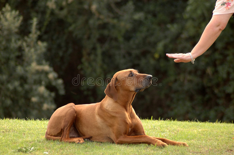 Dog obedient royalty free stock photography